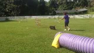 Jax Standard 12 20 2014 Cairn Terrier Agility