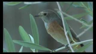 Gekraagde roodstaart - Phoenicurus phoenicurus - Redstart - Gartenrotschwanz
