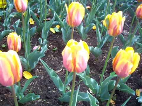 Nancy Today: Ottawa Tulip Festival 6 ASMR