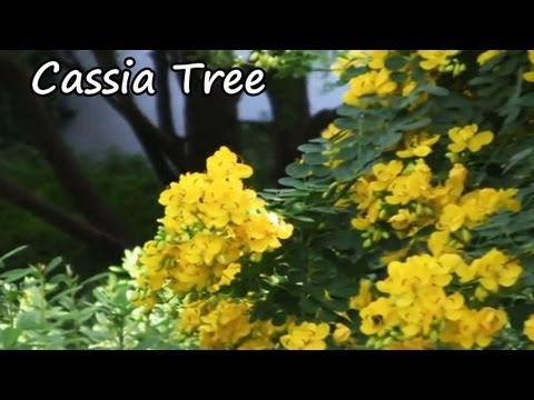 *Buy a Cassia Tree* +Yellow Flowering Tree+ @TX,FL & NC+A N+