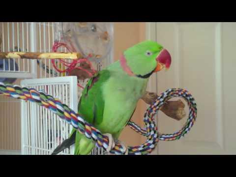 how to teach a ringneck parakeet to talk