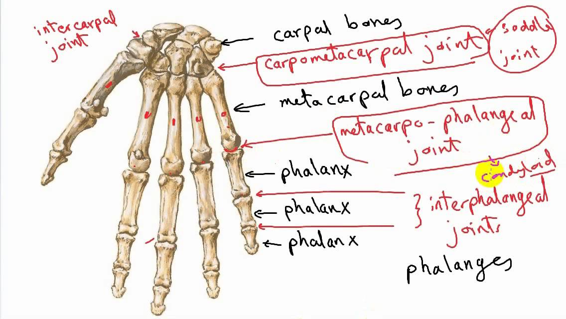 General Anatomy 12 Types Of Synovial Joints Correction By Dr