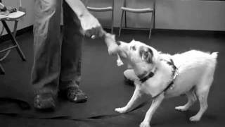 Party Tricks - Seattle Dog Training Classes At Service Dog Academy