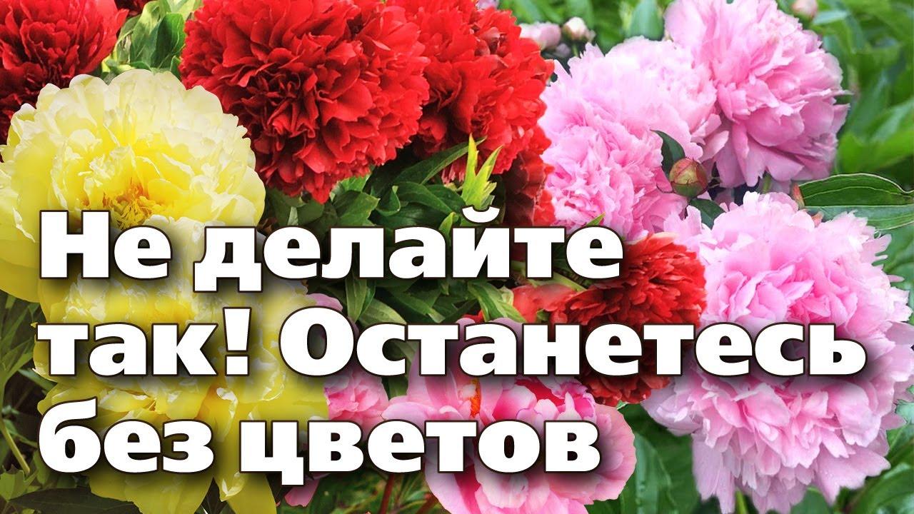5 ОШИБОК САДОВОДОВ ПОСЛЕ ЦВЕТЕНИЯ ПИОНОВ. Не погубите растения!