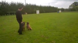 Belgian Shepherd Malinois Training