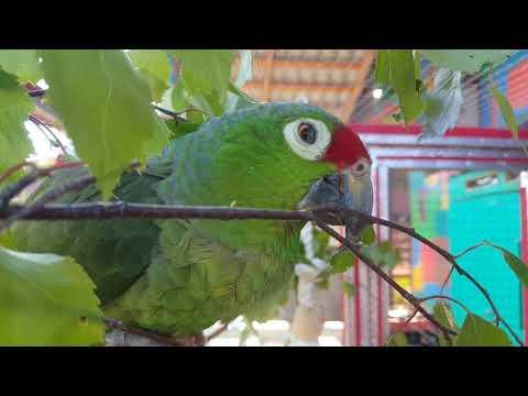 Видео: Попугаи Амазон и Ожереловый грызут березу
