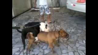 pit bull red nose Vs america black cruzando 2º cruzada deles no dia 02/11/2012