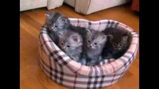 Котята-сибиряки