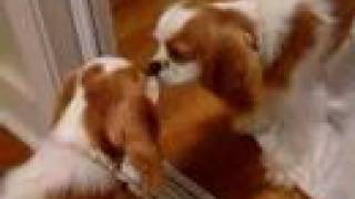 Millie The King Charles Cavalier Cute Puppy Dog Goes Crazy!