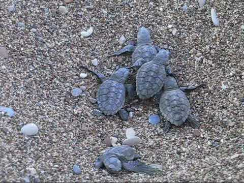 Baby turtles crawling to the sea. (Part 1)