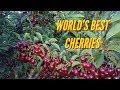 🍒 WORLD'S BEST CHERRIES  HUGE CROP  -FRUIT PICKING AUSTRALIA