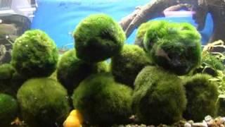 Кладофора: Зеленая Уборщица Аквариума . Все О Домашних Животных.