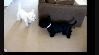 My Westie And Scotty Dogs Playing. West Highland White And Scottish Terrier.