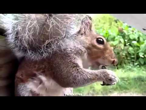 Cureuil dr le cureuil est graines de craquage youtube - Videos droles d animaux ...