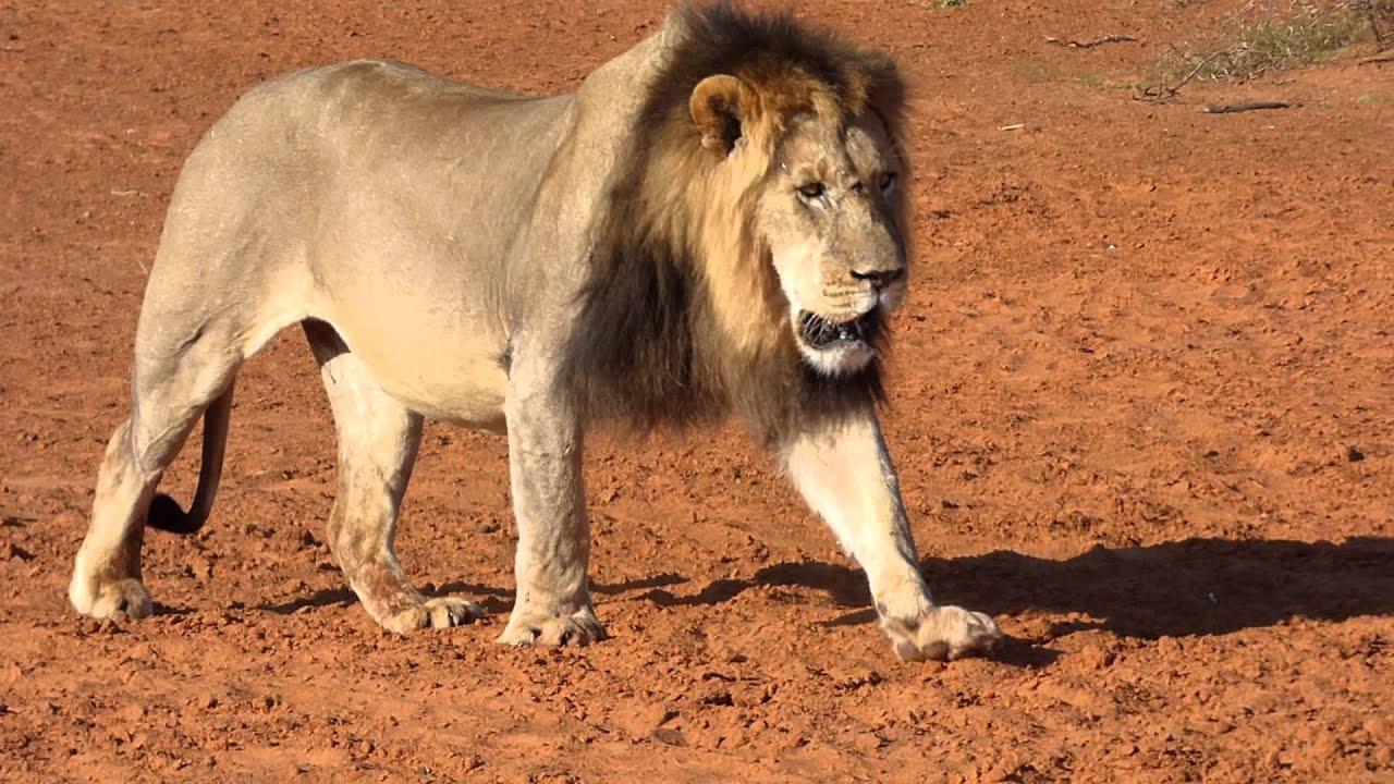 tswalu kalahari black maned lion walking to watering hole 2nd sep