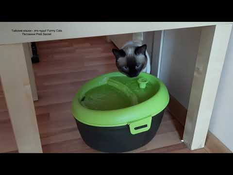 Как тайский кот Калиостро задумчиво пил воду! Тайские кошки - это чудо! Funny Cats