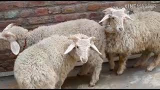 MK goat farm for sale will it mehndi 9918748566