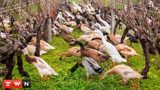 ブドウ畑は俺たちが守る!1000羽を越えるアヒルたちが警備隊たちが群れをなして大活躍(南アフリカ)