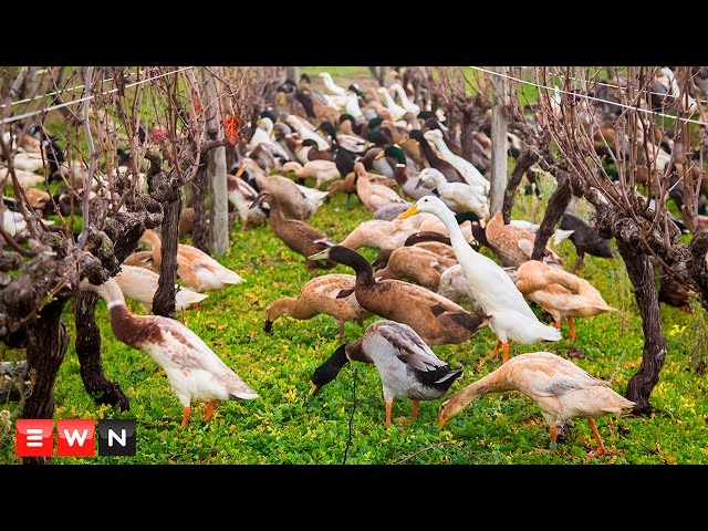 Watch 1000 ducks waddle to work on wine farm