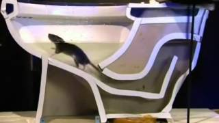 toilet rat szczur w sedesie
