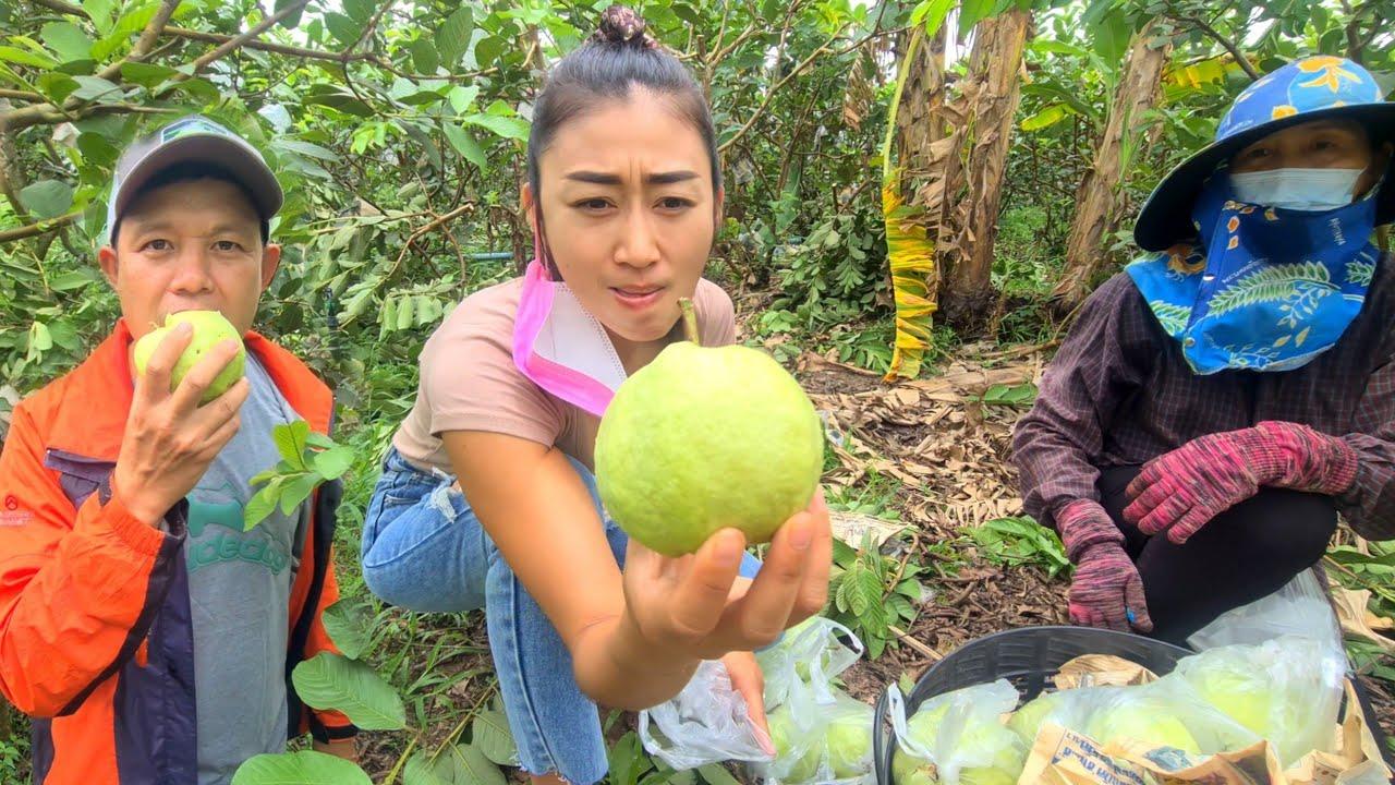 สวนฝรั่งเงินแสน สวนฝรั่งกิมจู ปลูก2ไร่ ได้เงินแสนนะครับ