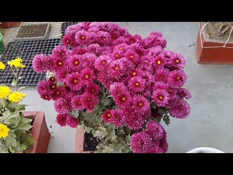 how to grow chrysanthemum for cutting  || गुलदावरी