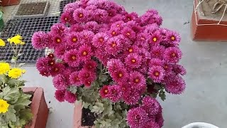 chrysanthemum plant care    how to grow supper quality chrysanthemum plant in a pot