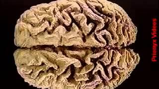 O corpo humano 09 Sistema nervoso Parte 2