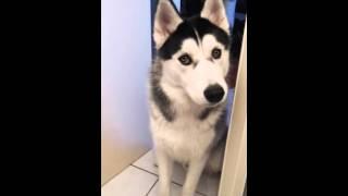 husky qui pleure