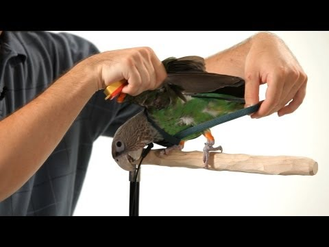How to Put a Harness on Your Parrot | Parrot Training