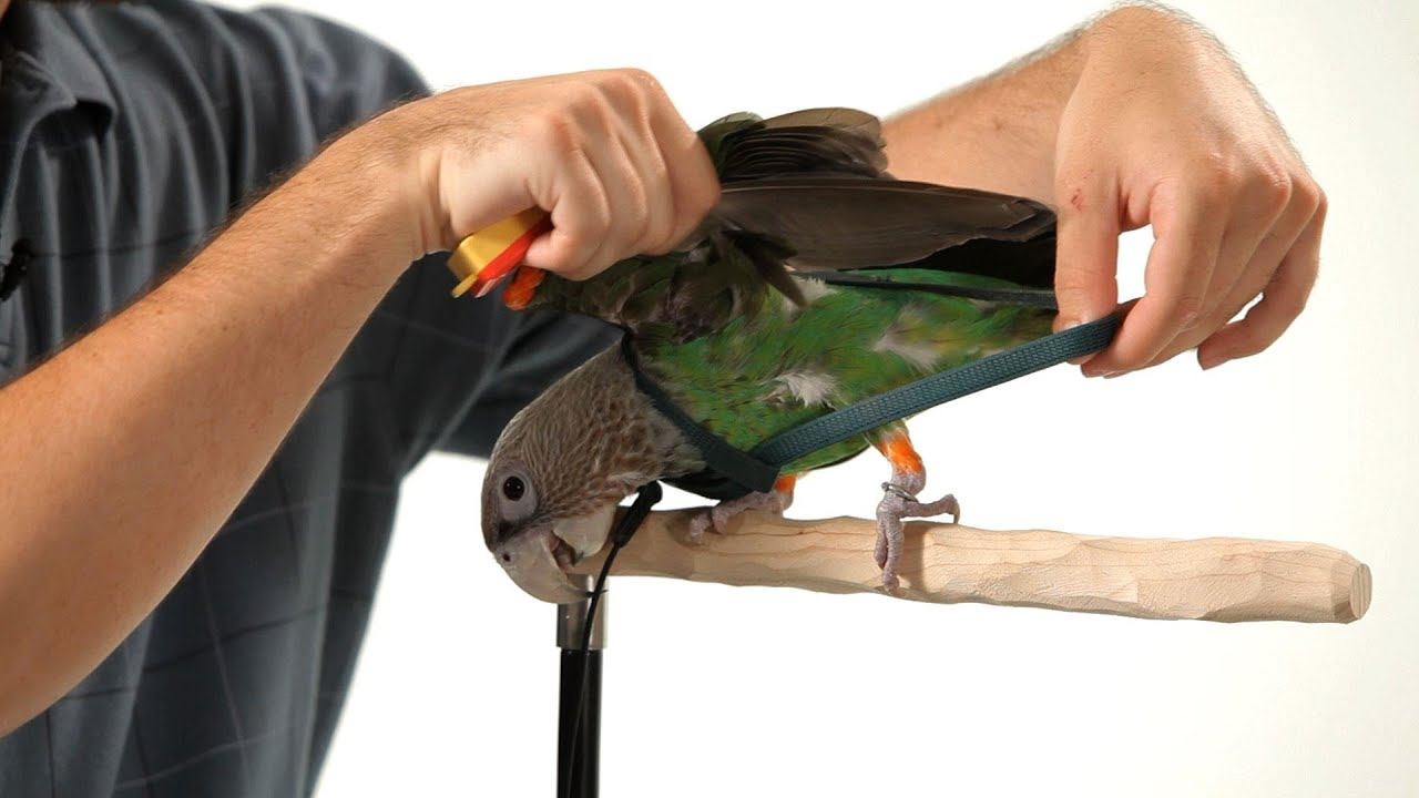 How To Put A Harness On Your Parrot