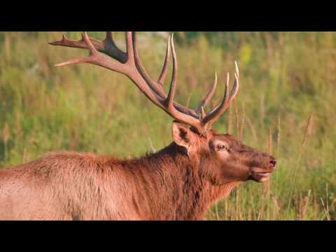 TN WildCast 47 - Learning About Tennessee's Elk Herd!