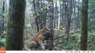 Footage captured by Batalov's camera traps