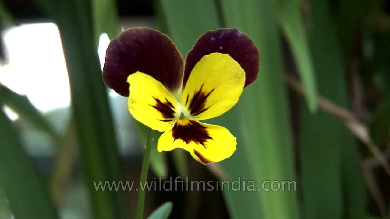 Two Coloured Pansy Flower Youtube