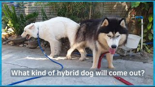 Husky and mixed dog breeding.What kind of hybrid dog will come out? 허스키와 믹스견의 교배!