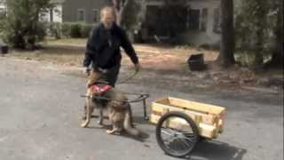 Teach Your Dog To Pull A Cart