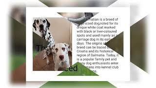 The Dalmatian dogs breed