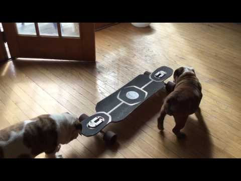 Priscilla the English Bulldog Puppy learns to ride a skateboard
