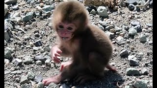 Baby monkey plays with some stones