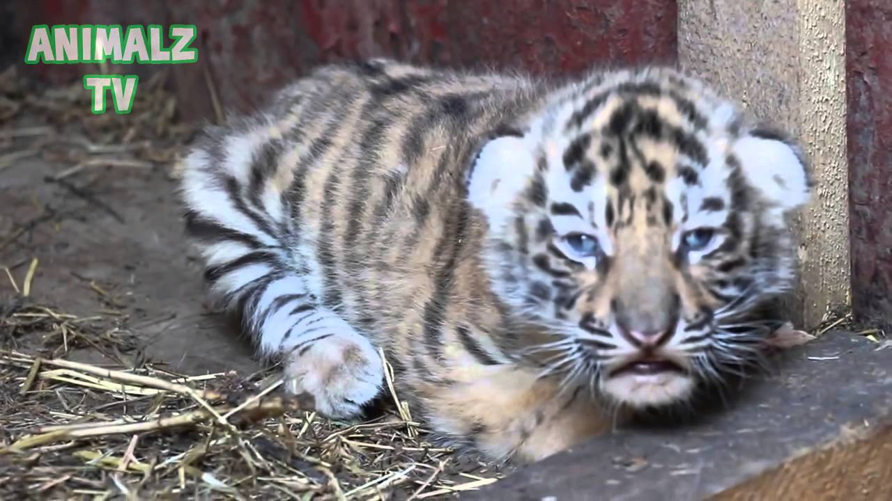Cute Tiger Cubs - Cute Baby Animals [NEW HD VIDEO] - YouTube Cute Siberian Tiger Cubs