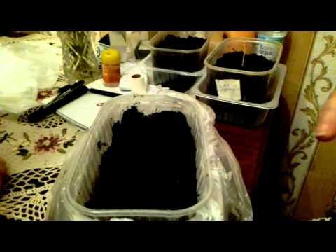 Как сажать семена капусты
