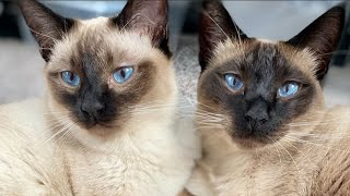 Siamese Cat Meowing | Siamese Cat Talking & Playing