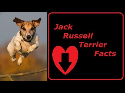 Jack Russell Terrier Personality Traits - History and Facts