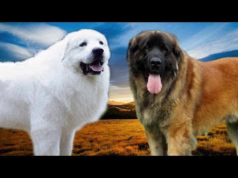 Great Pyrenees vs Leonberger   Highlights