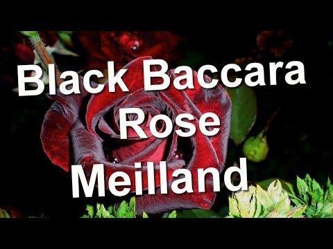 Black Baccara Rose, Meilland