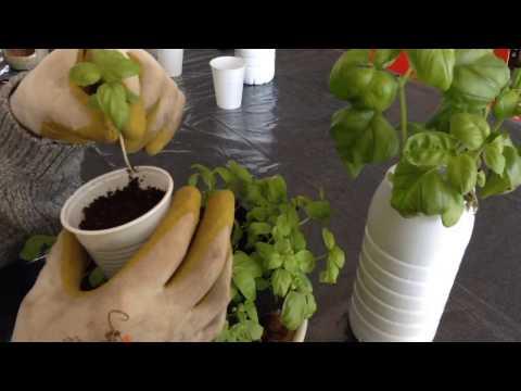 Cultiver du Basilic, faire pousser en intérieur dans une bouteille de lait ou réservoir hydroponique