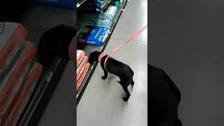 16 Week old Lab dog training