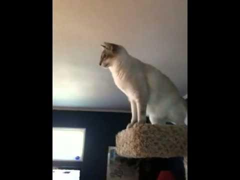 Яванез (яванская кошка) - порода кошек