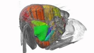 Three-dimensional visualization of the insect thorax