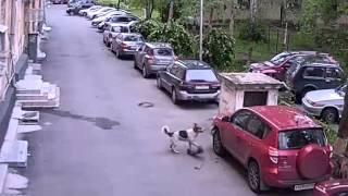 собаки разорвали машину